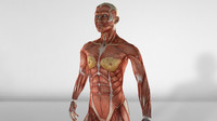 female muscular anatomy c4d
