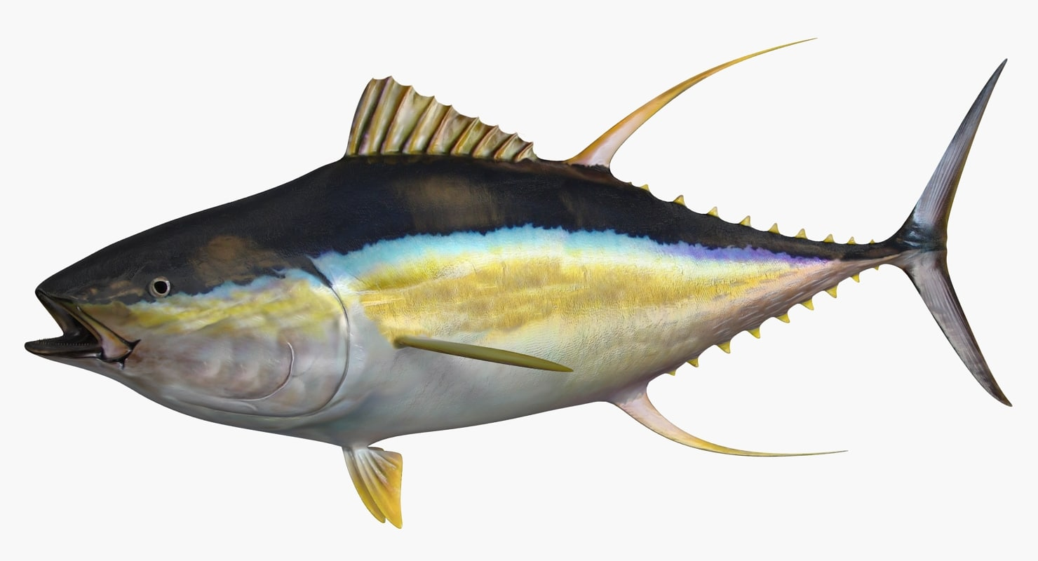 3d model yellowfin tuna fish