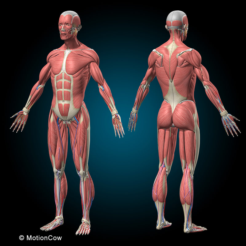 Human Anatomy Rigged 3d Model