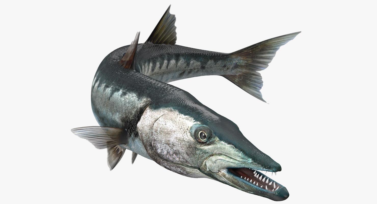 barracuda fish rigged 3d model