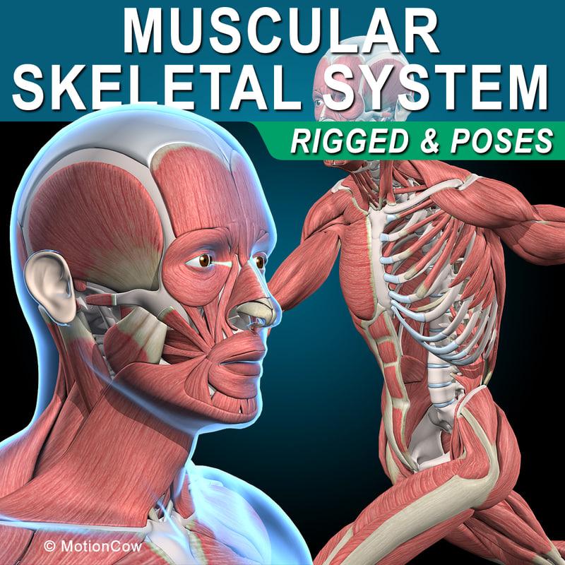 3d human rigged vertebrae skeleton model