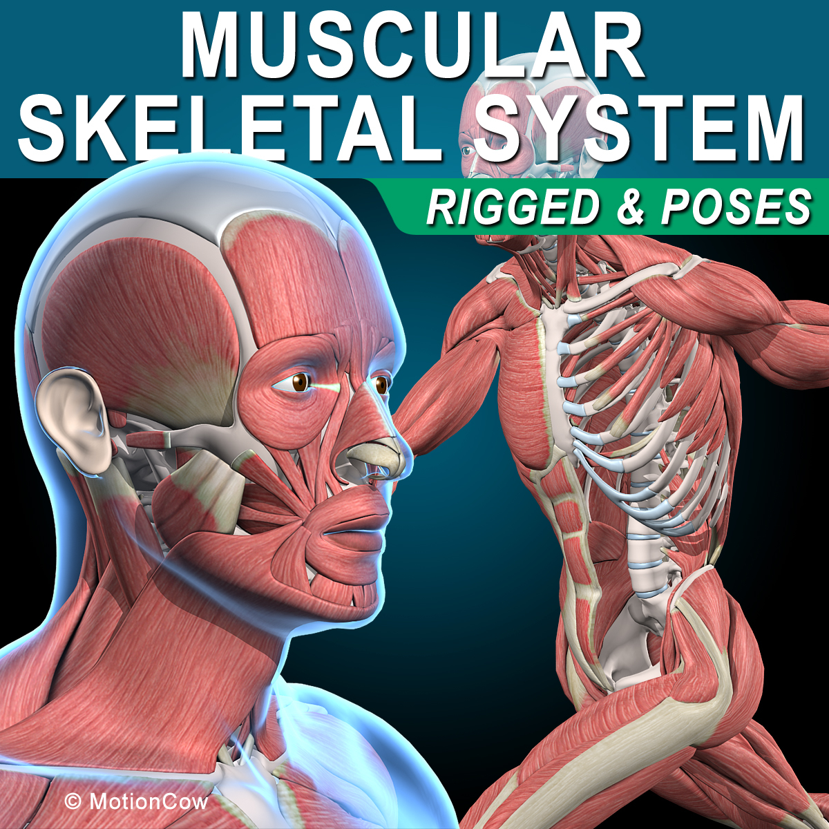 3d human rigged vertebrae skeleton model