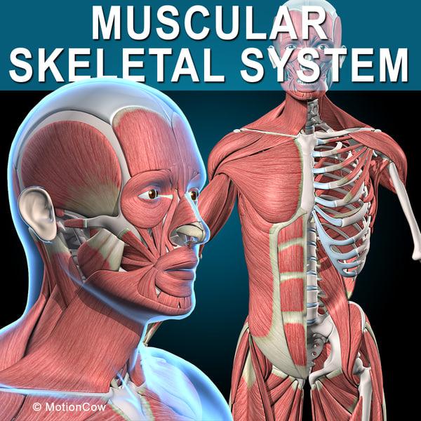 3d human vertebrae skeleton muscles anatomy model