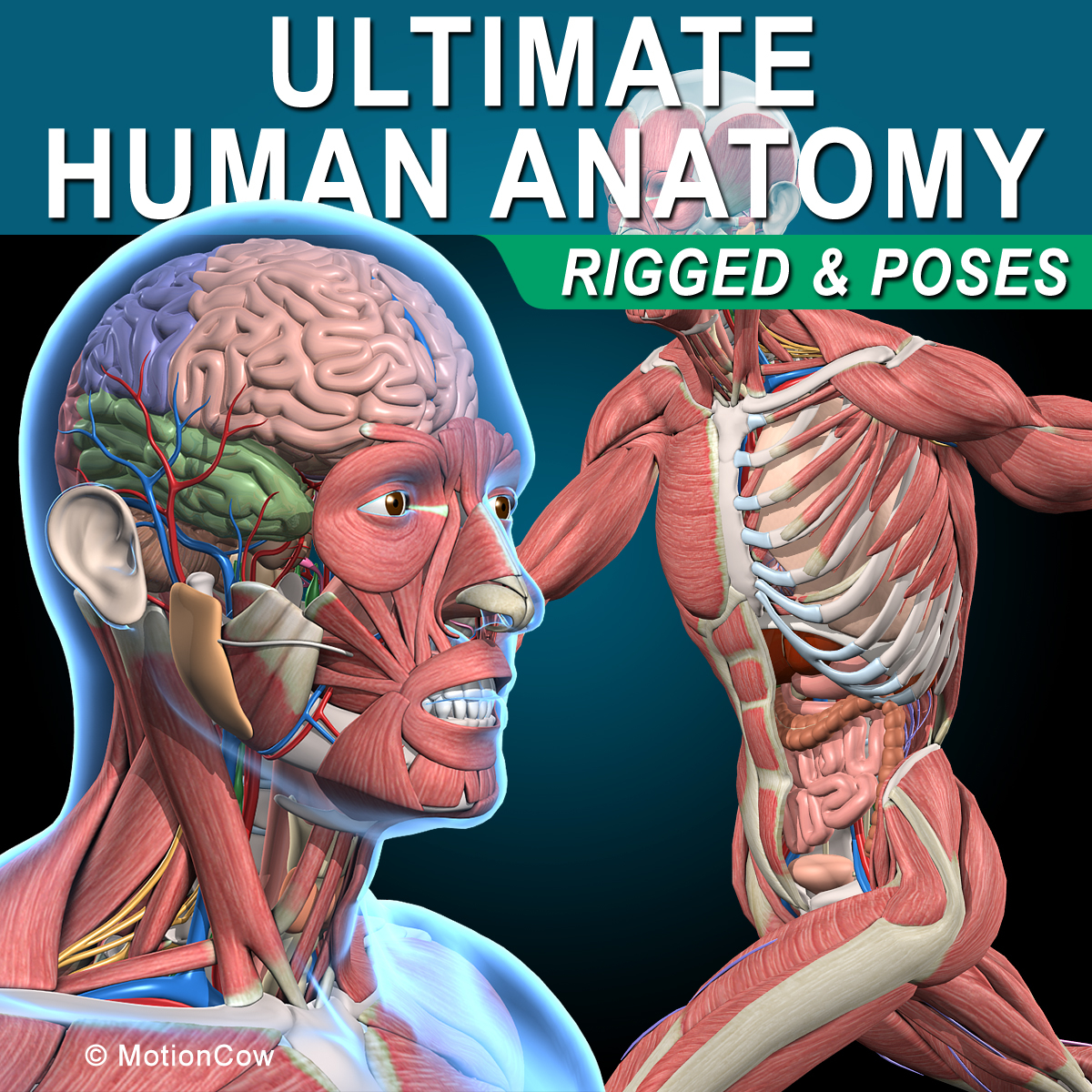 human anatomy rigged 3d model