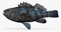 ma giant hawkfish