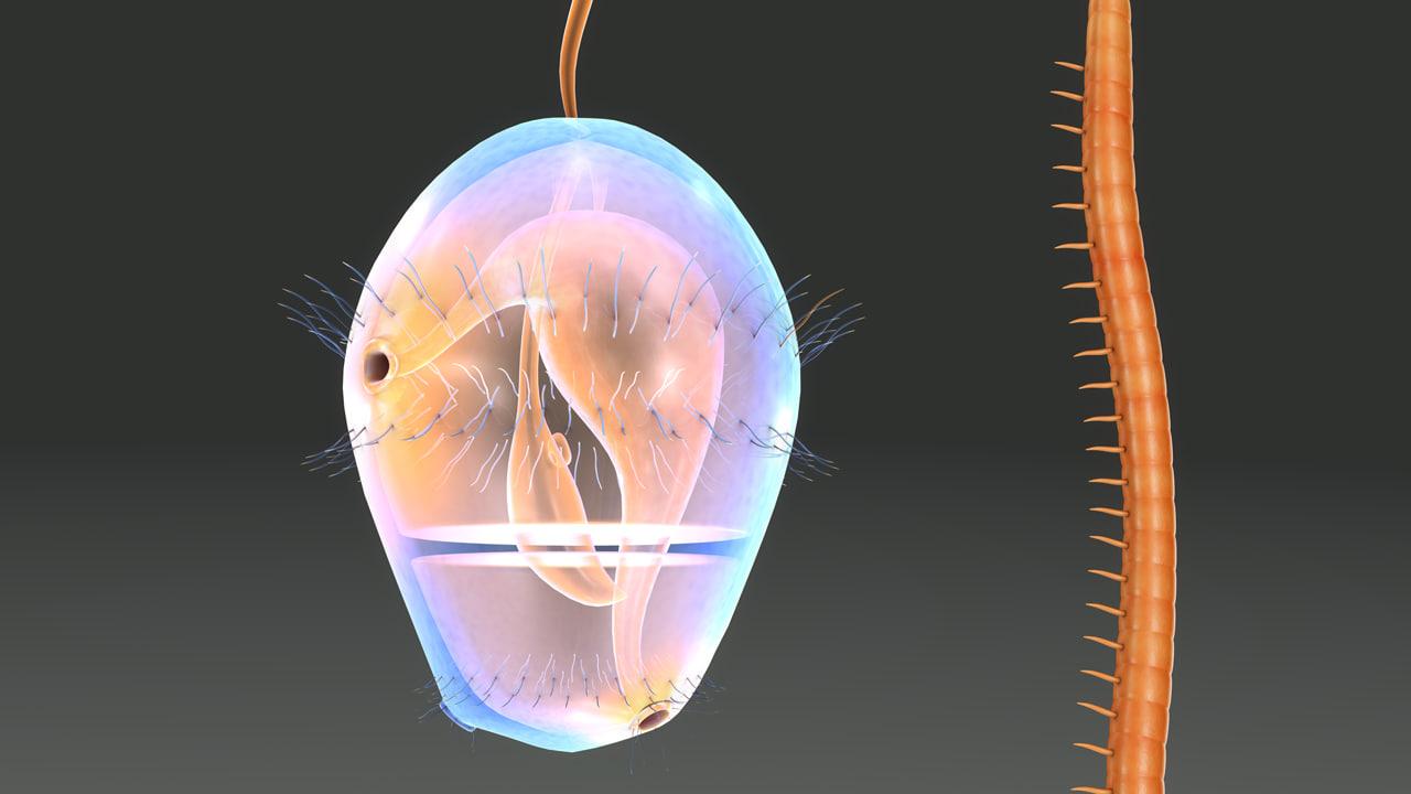 obj trochophore larva
