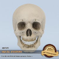 3d model of skull anatomy