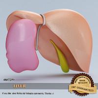 3d model of liver