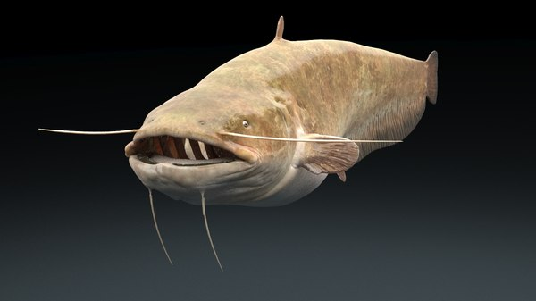 3d catfish fish model