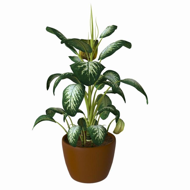flower dieffenbachia max