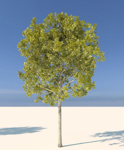 3d model corona platanus acerifolia 1