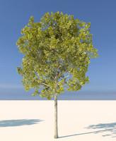 Plane tree aka Platanus acerifolia 1