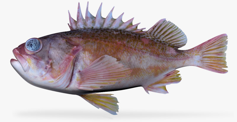3d greenblotched rockfish model