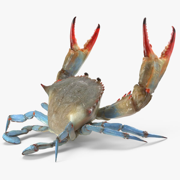 3d blue crab fight pose model