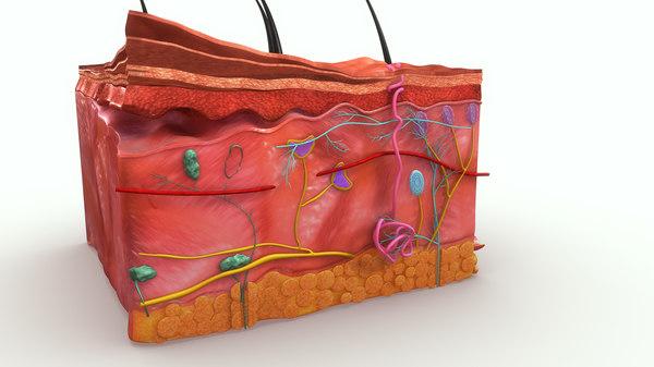 3d epidermis skin anatomy