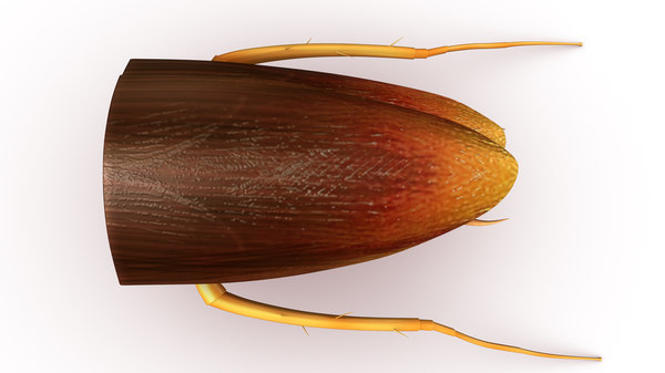 cockroach haemocoel obj