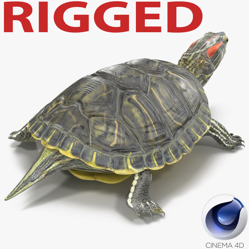 pond slider turtle rigged 3d model