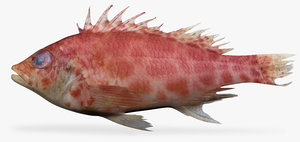 3d coral hawkfish