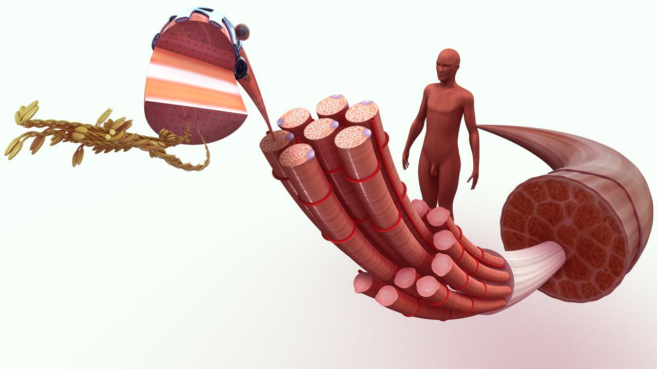 3d muscle tissue model
