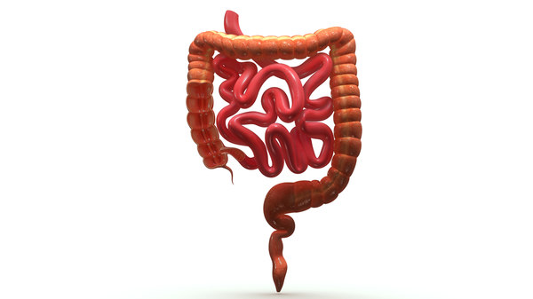 3d small large intestine