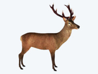 red deer stag 3d 3ds