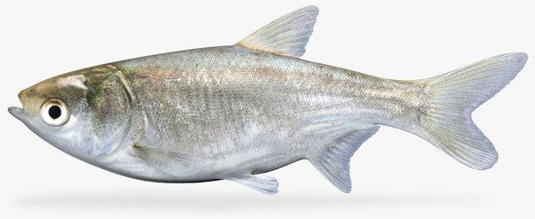3d model silver carp