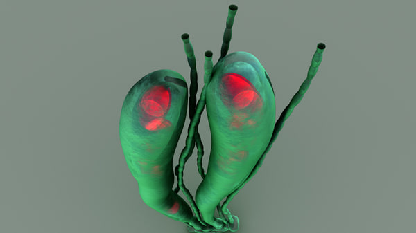 3d model spore ascus fungi