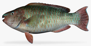 rainbow parrotfish 3d x