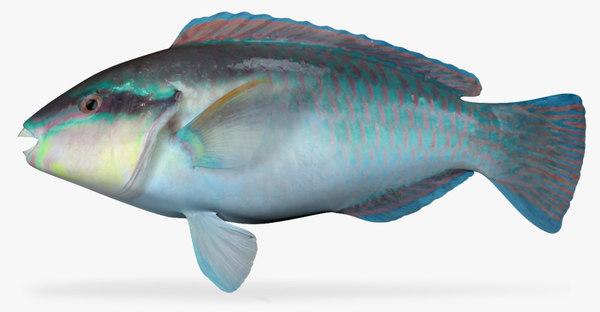 3d striped parrotfish
