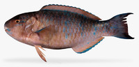 bluechin parrotfish 3d x