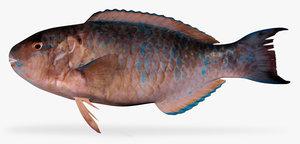 bluechin parrotfish 3d x