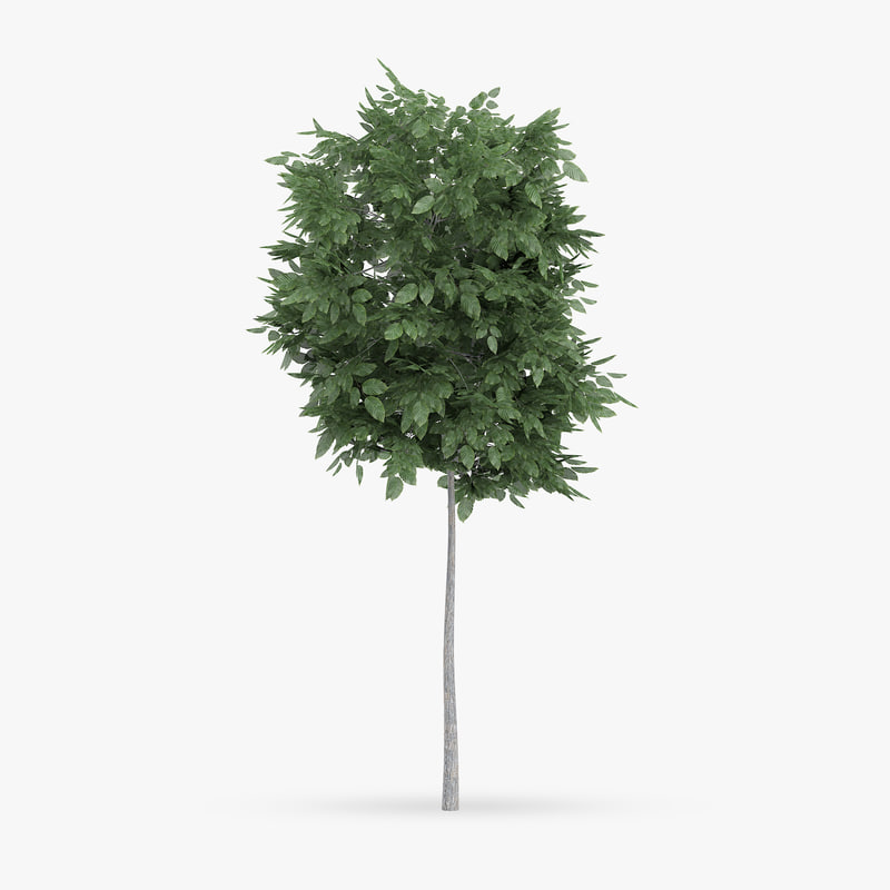 common hornbeam tree 1 3d max