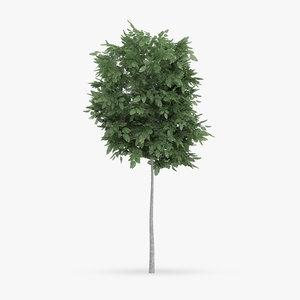 common hornbeam tree 1 3d max