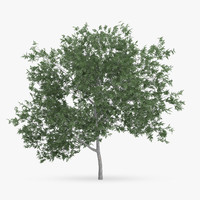 common hornbeam tree 5m 3d model
