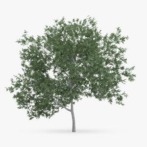 common hornbeam tree 5m 3d model