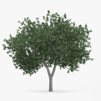common hornbeam tree 5 3d model