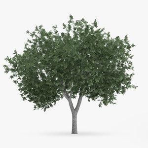 common hornbeam tree 5 3d model