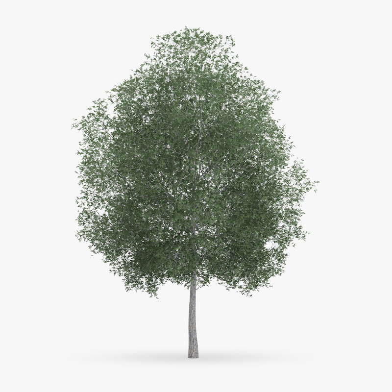 c4d common hornbeam tree 13m