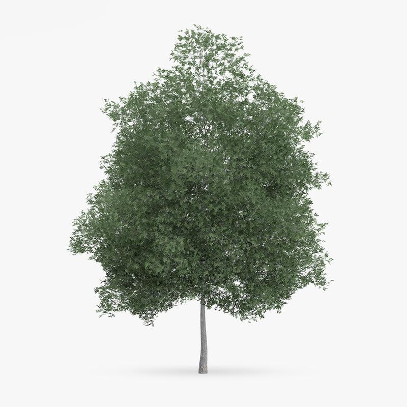 3d common hornbeam tree 12 model