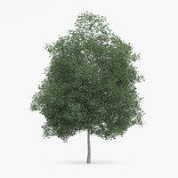 3d common hornbeam tree 12 model
