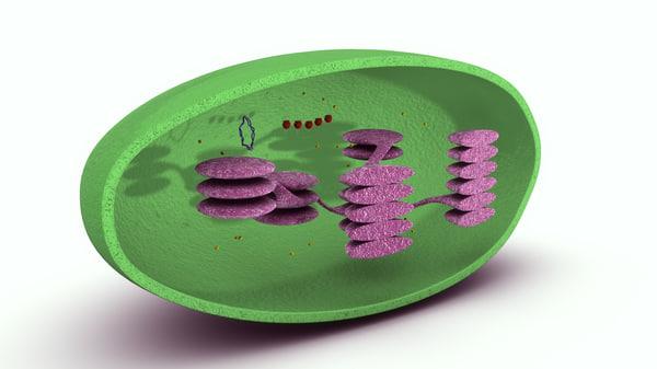 3d chloroplast model