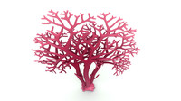 3d red algae agarophyte model