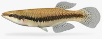 blackstripe topminnow 3d model