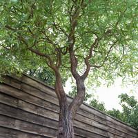 Salix matsudana Tortuosa (Corkscrew Willow)