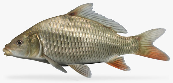 3d model cyprinus carpio common carp