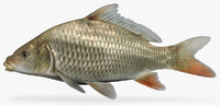 3d model cyprinus carpio common carp
