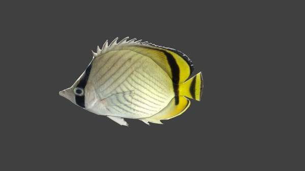 3d model vagabond butterflyfish