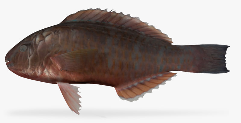 3d model bluechin parrotfish