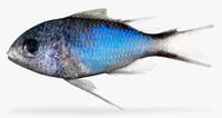 3d chromis cyanea blue model