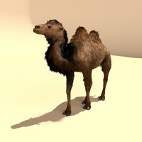 bactrian camels 3d model